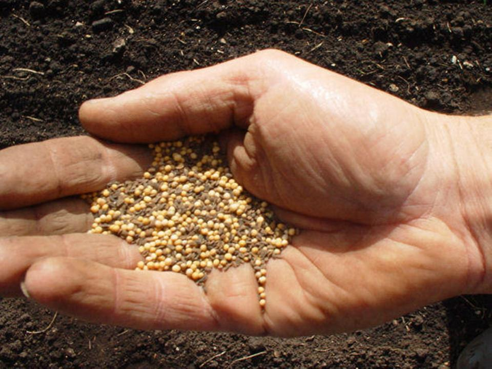 Mustard seeds held in the palm of a hand.
