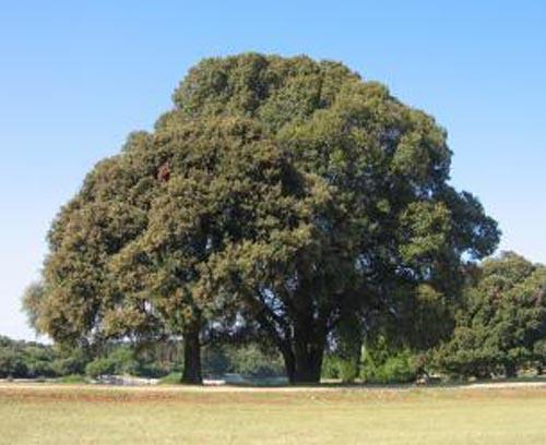A mustard tree